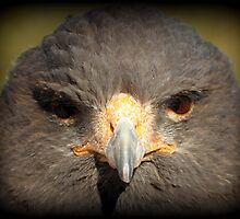 Harris's Hawk~ In Your Face by Kimberly Chadwick