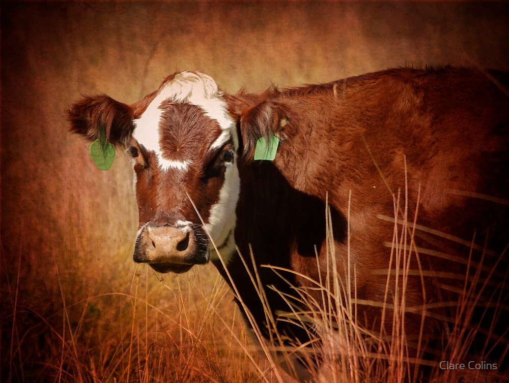 I saw a cow on the side of the road - It saw me too! by Clare Colins