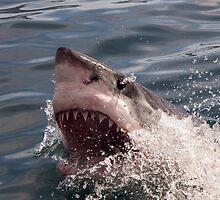 Great white shark (Carcharodon carcharias) by Anna Phillips
