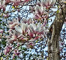 Saucer Magnolia - up close by brijo