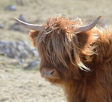Highland Cattle by Richard Greenwood