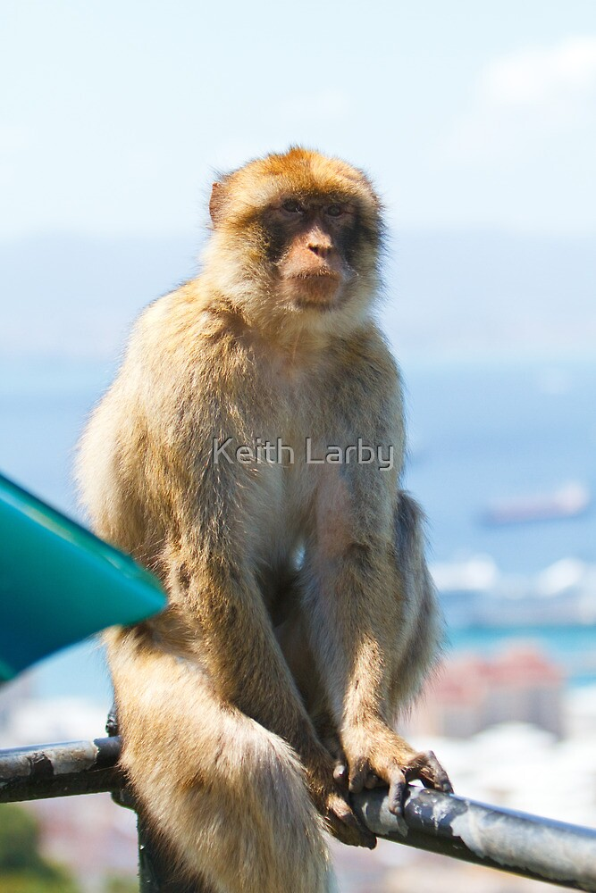 Barbary Macaque In Gibraltar on watch! by Keith Larby