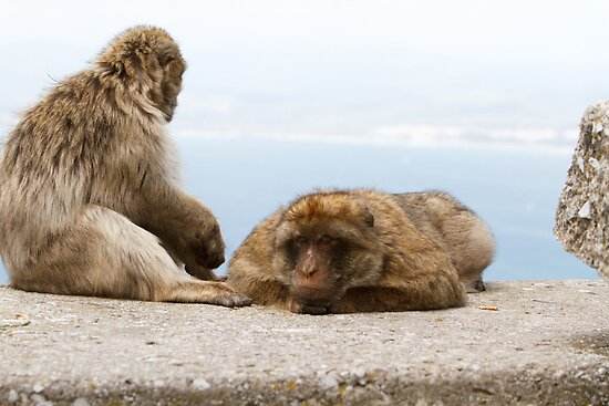 A pair of Barbary Macaques In Gibraltar by Keith Larby