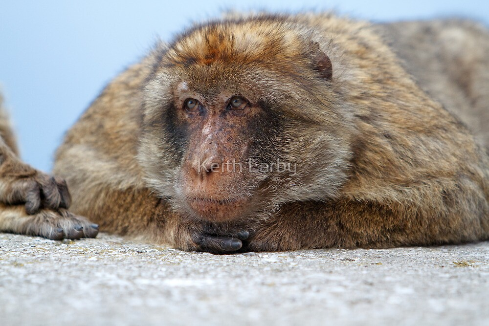Barbary Macaque In Gibraltar by Keith Larby