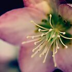 Helleborus   by JUSTART