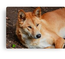 Dingo Canvas Print