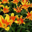 Tulipa - Fire Wings - I by bubblehex08