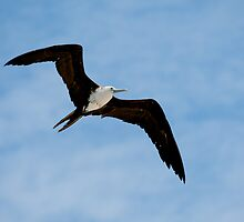 Juvenile Magnificent Frigatebird in Flight - Playas, Ecuador by Paul Wolf