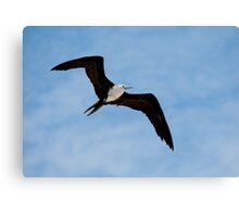 Juvenile Magnificent Frigatebird in Flight - Playas, Ecuador Canvas Print