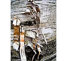 Birch Tree Bark in Forest Photographic Print