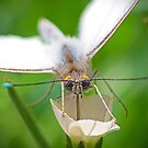 White butterfly on a white flower by imagetj