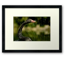 Black Swan Playing in Fountain Framed Print