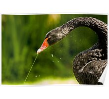 Black Swan Playing with Fountain Poster