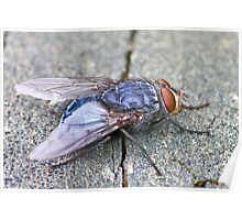 Blue Fly Poster