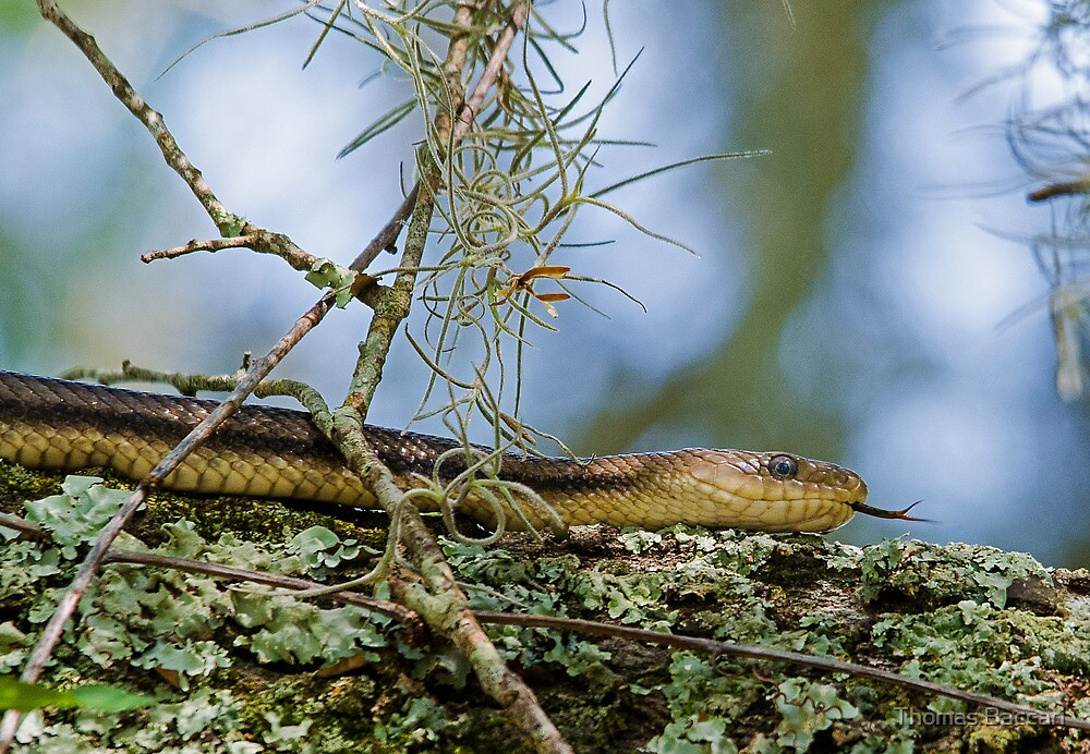 Yellow Rat Snake Hanging Out in a Huge Old Oak Tree by TJ Baccari Photography