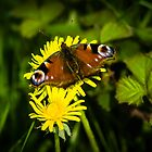 European Peacock Butterfly by mlphoto