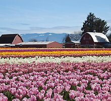 Tulip Town, Skagit Valley, Washington by Barb White