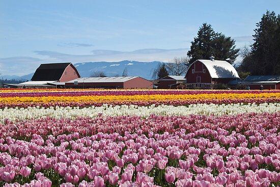 Tulip Town, Skagit Valley, Washington by Barb White
