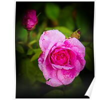 Pink Rose Hungerford England Poster