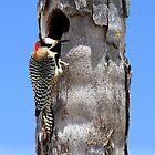 Woody the Woodpecker by vette