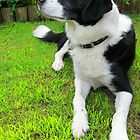 Black and White Collie X by Dionne Meade