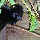 Black Silkie Bearded Bantam Hen by Dionne Meade