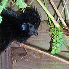 Black Silkie Bearded Bantam Hen by Dionne Meade