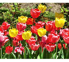 Spring Tulips Photographic Print