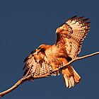 042713 Red Tailed Hawk by Marvin Collins