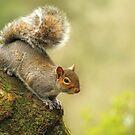 Grey Squirrel by Lyn Evans