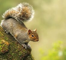 Grey Squirrel by Lyn Evans