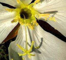 Wild Evening Primrose by Arla M. Ruggles