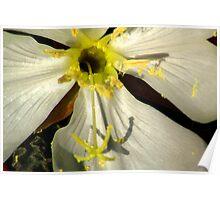 Wild Evening Primrose Poster
