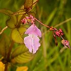 Himalayan Balsam by Ian Mac