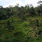 Rice Paddies (Bali)  by Timothy Ciantar