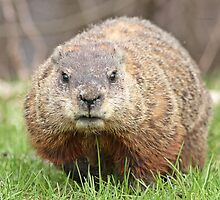 Spring has sprung, grass has riz - groundhog wondering where the girlies is by Heather King