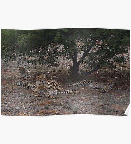 Lazy Cheetahs Poster