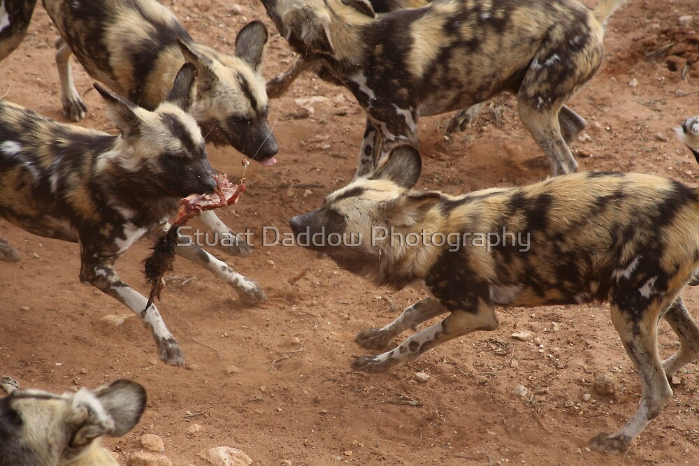 Feeding African Painted Dogs by Stuart Daddow Photography