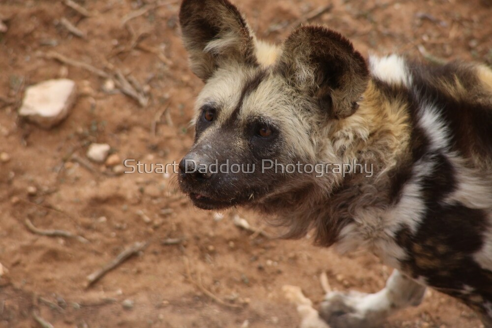 African Painted Dog Waiting For Food by Stuart Daddow Photography
