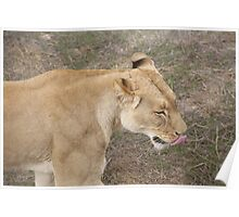 Lion Licking Lips Poster