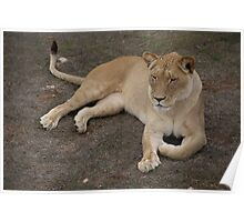 Don't Mess With The Lioness Poster