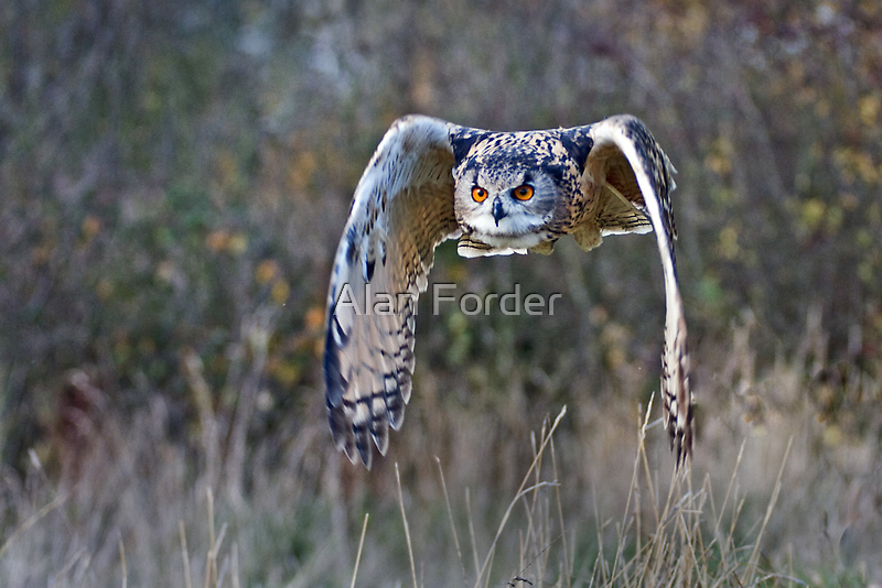 European Eagle Owl by Alan Forder
