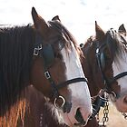 Clydesdale - Getting ready to work 2 by Deborah McGrath