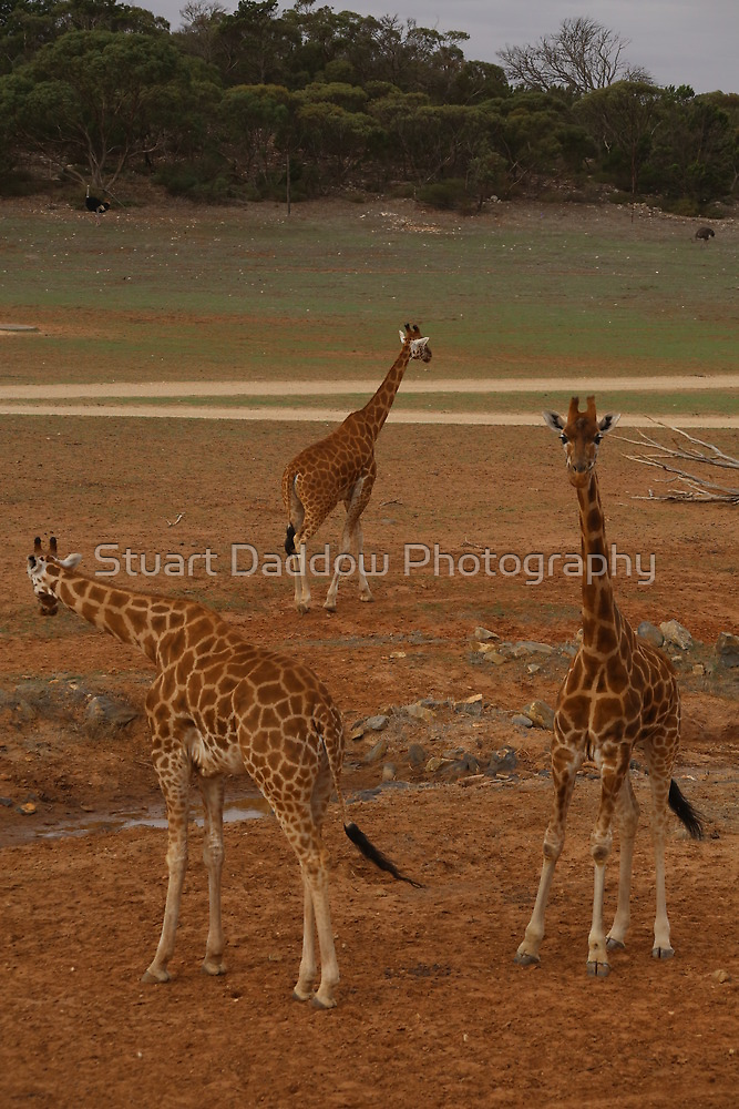 Three of a Kind by Stuart Daddow Photography