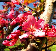 Cherry Blossom by Tracy Engle