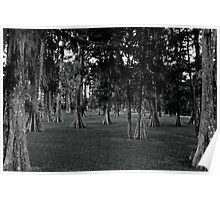 Black and White Cypress Poster