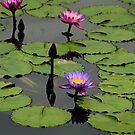 Lotus Blooms by Duane Bigsby