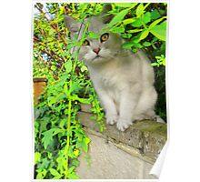 Black-Tipped British Short Hair Cat Poster
