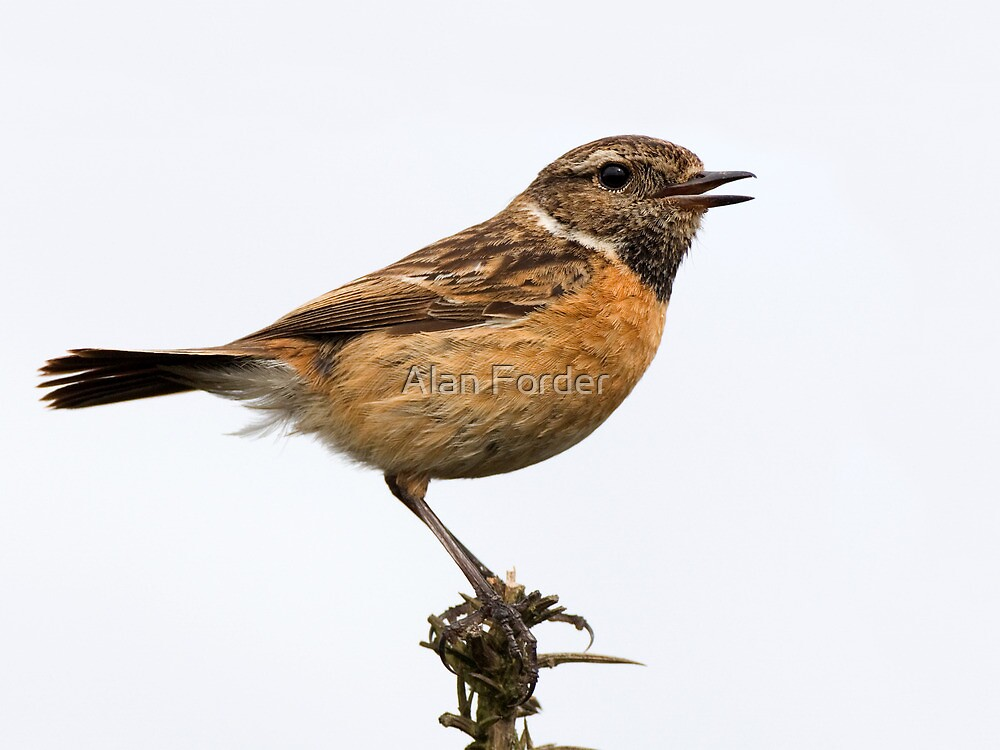 Stonechat  (female) by Alan Forder