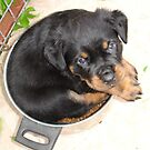 Female Rottweiler Puppy Curled In A Food Bowl by taiche